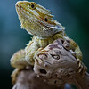 Bearded Dragon (Tark) :